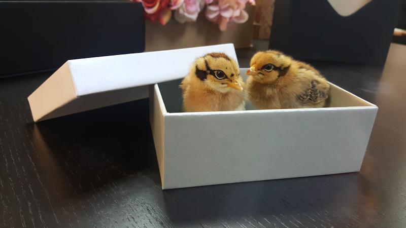 cutie rigida Heineken cu puisori 20180326_09594